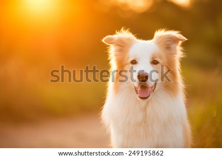 Border collie dog in the sunlight - stock photo