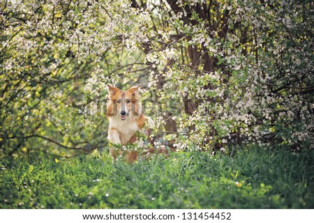 border collie dog jumping on a background of white flowers in spring - stock photo