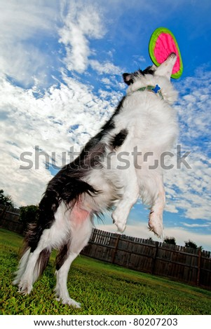 Border Collie dog jumps and catches disc - stock photo