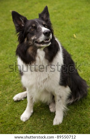 border collie dog on a grass background