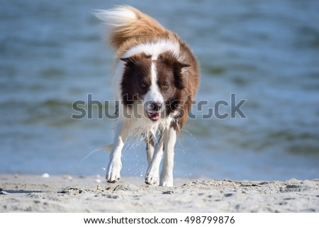 Border Collie Dog on sea