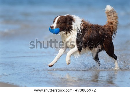 Border Collie Dog on sea in happiness retrieving happy splash in ocean waves