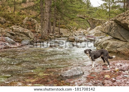 Border Collie dog overlooking the clear mountain waters of the Tartagine river in the Tartagine forest near Mauaoleo in the Balagne region of Corsica - stock photo