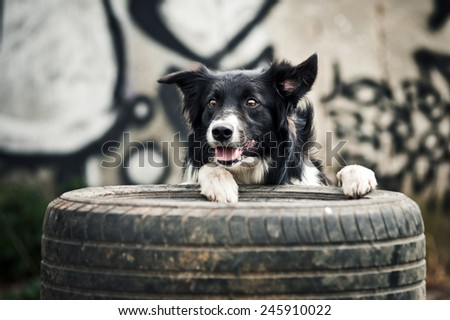 Border collie dog playing with tires on the graffiti background
