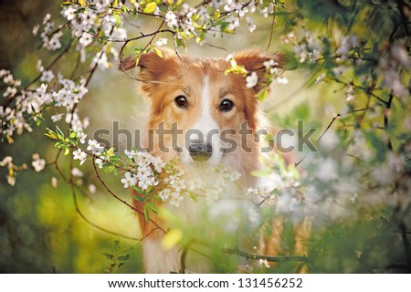 border collie dog portrait looking at the camera on a background of white flowers in spring - stock photo
