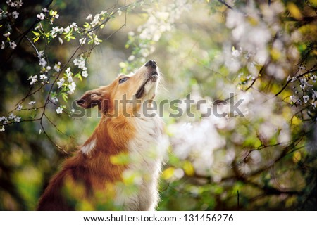 border collie dog portrait looks up on a background of white flowers in spring - stock photo