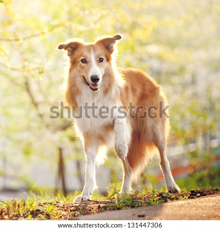 Border collie dog stand up on the spring sunshine background - stock photo