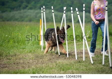 border collie doing slalom training at agility course - stock photo
