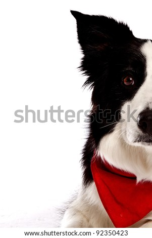 Border Collie in front of a white background with red banana closeup - stock photo
