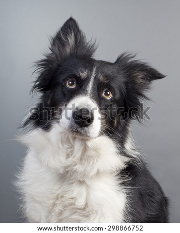 border-collie in studio with one ear up and down - stock photo