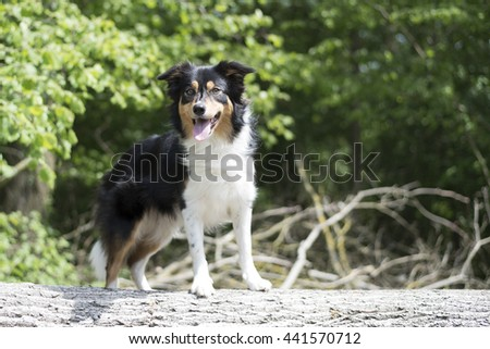 border collie in wood