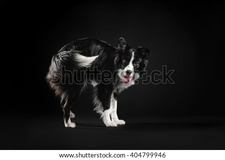 Border Collie is happy and wags its tail