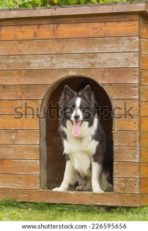 Border collie is standing in wooden doghouse. - stock photo