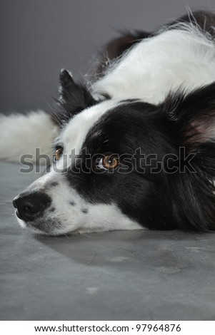 Border collie isolated on grey background