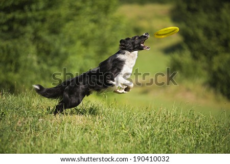 Border Collie jumping and catching frisbee outdoors  - stock photo