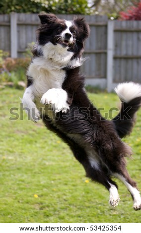 Border Collie Leaping - stock photo