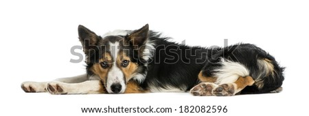 Border collie lying down, looking at the camera, isolated on white
