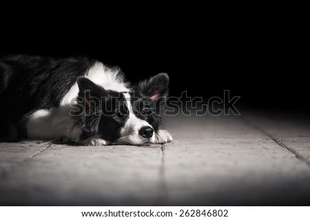 Border Collie lying on the ground - stock photo