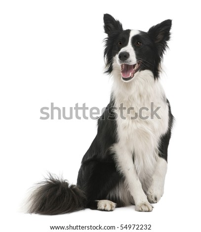 Border collie, 18 months old, in front of white background
