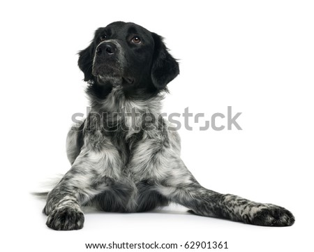 Border Collie, 10 months old, lying in front of white background - stock photo