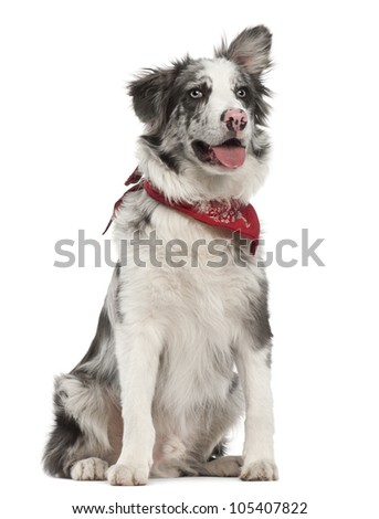 Border Collie, 7 months old, sitting against white background - stock photo