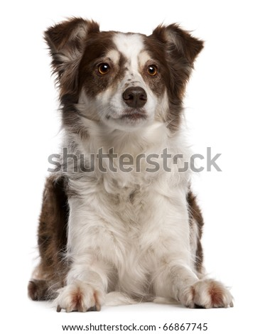 Border Collie, 8 months old, sitting in front of white background - stock photo