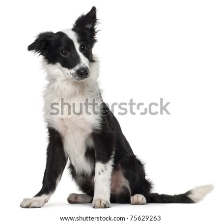 Border Collie, 4 months old, sitting in front of white background