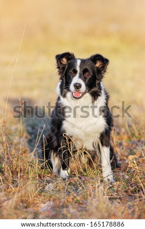 Border Collie on autumn walk - stock photo