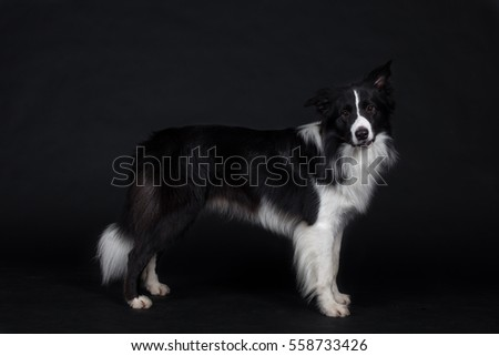 Border Collie on black background