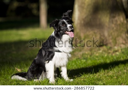 border collie outdoors on a summer day. Dogs tricks and sport - stock photo