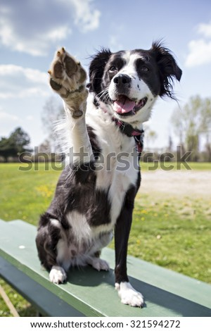 Border Collie outside giving high five to the camera - stock photo