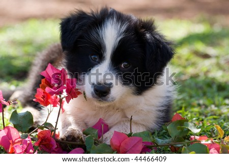 Border Collie Pup - stock photo