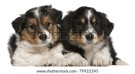 Border Collie puppies, 6 weeks old, lying in front of white background - stock photo
