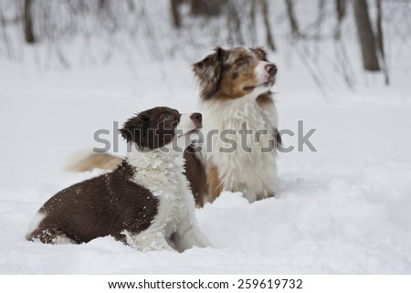 Border Collie puppy and Australian Shepard enjoy the winter