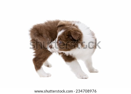 Border Collie puppy dog in front of a white background biting its own tail