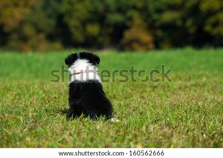 Border Collie puppy in nature