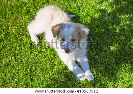 Border Collie puppy lying on the lawn. A cute little dog. - stock photo