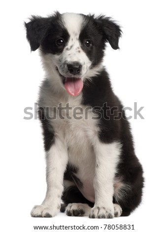 Border Collie puppy, 3 months old, sitting in front of white background - stock photo