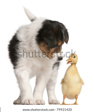 Border Collie puppy, 6 weeks old, playing with a duckling, 1 week old, in front of white background - stock photo