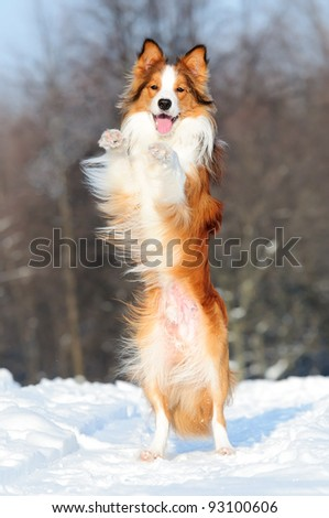 Border collie puppy 1 year old play in winter - stock photo