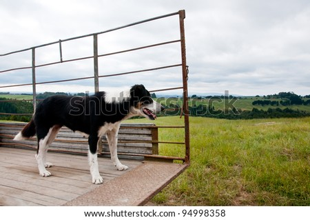 Border collie sheep and cattle dog on the back of a truck working on a farm - stock photo