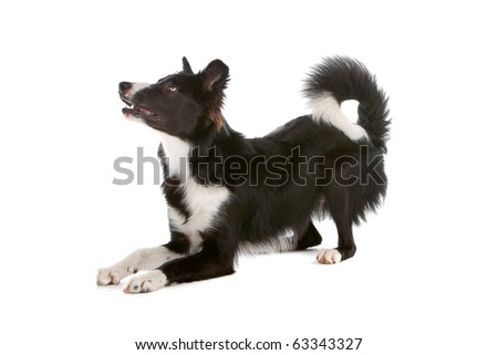 border collie sheepdog isolated on a white background - stock photo