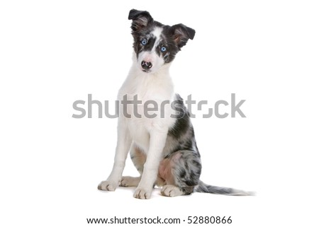 border collie sheepdog puppy isolated on a white background