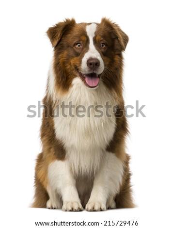 Border collie sitting - stock photo