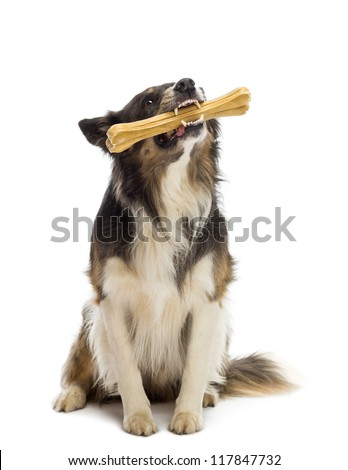Border Collie sitting and chewing bone against white background - stock photo
