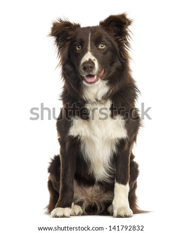 Border Collie sitting, 9 months old, isolated on white - stock photo