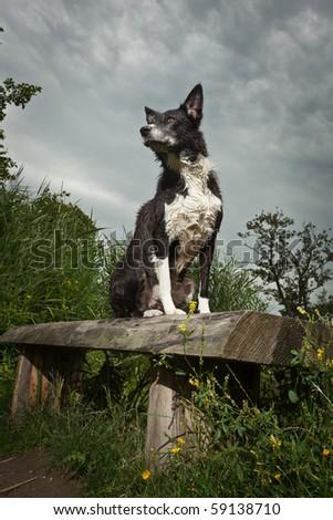 Border Collie sitting on bench - stock photo