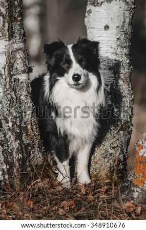 border collie stands between trees