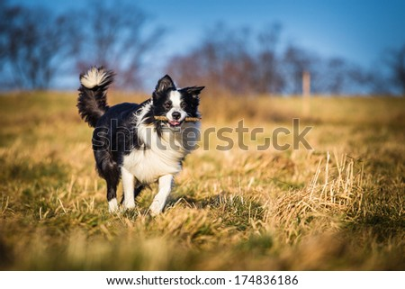 border collie to fetch - stock photo