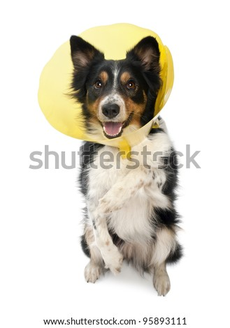 Border collie wearing a space collar on hind legs in front of white background - stock photo